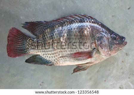 Talaphia / Tilapia fish. - stock photo
