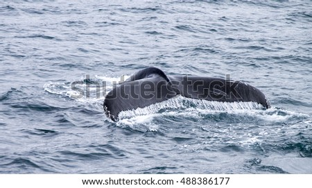 Tale of the Humpback whale in Atlantic Ocean