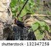 talking myna bird - stock photo