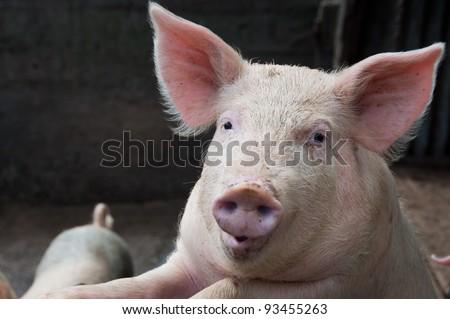 Talking pig - stock photo