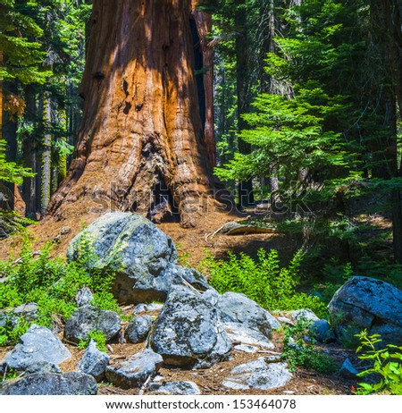tall and big sequoias in beautiful sequoia national park - stock photo