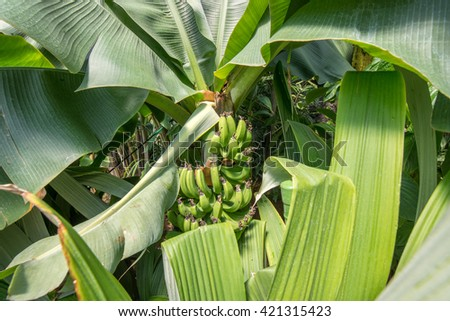 tall banana trees under a glass roof