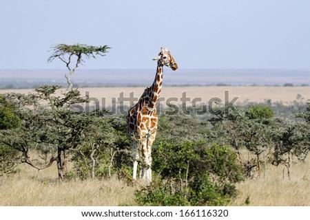 Tall beautiful Giraffe in the grassland - stock photo