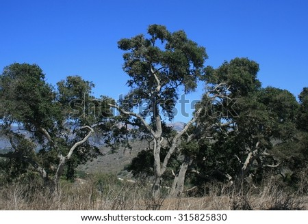 Tall coastal live oak trees in Santa Barbara, CA - stock photo