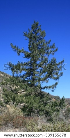 Tall Coulter pine, Angeles National Forest, CA - stock photo