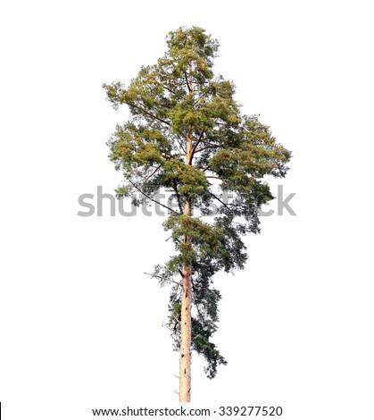 Tall European pine tree isolated on white background - stock photo