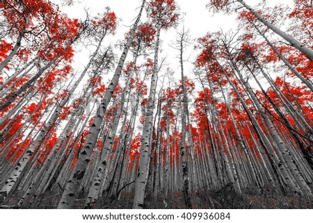 Tall forest of red leaf trees in black and white landscape - stock photo