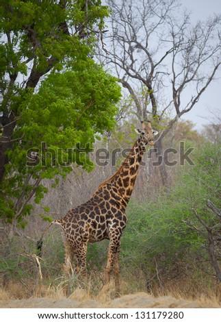 Tall gorgeous giraffe in lush green botswana - stock photo