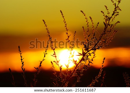 Tall Grass silhouette at Dramatic cloudy Golden sunset
