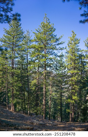 Tall green pine trees stand on a hillside in southern California's San Gabriel mountains. - stock photo