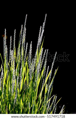 Tall ornamental  grass against black background