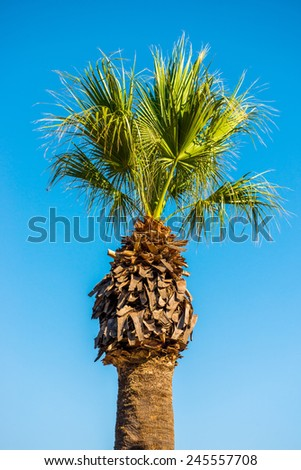 tall palm trees against the blue sky - stock photo