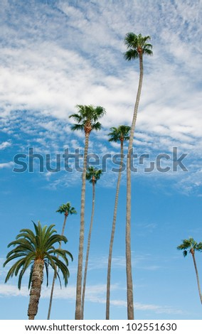 Tall Palm Trees with a Blue Sky