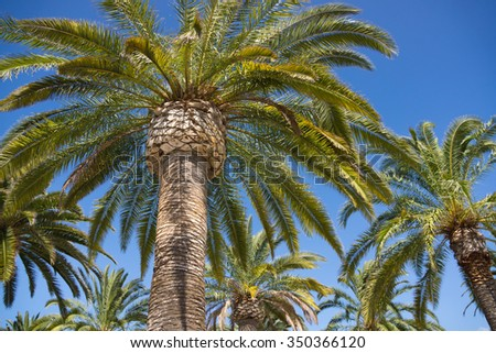 Tall palm trees with huge fronds reach into the blue sky. - stock photo