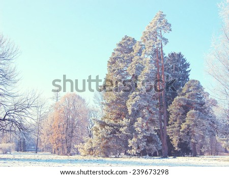 tall pine trees in the meadow on a sunny day in winter color blue - stock photo