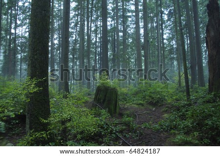 Tall pines growing in Canadian Northwest rain forest - stock photo