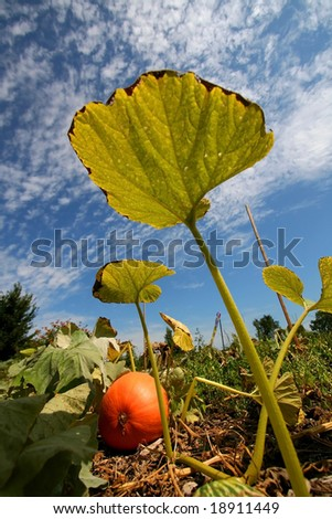 Tall Pumpkin Leaf - stock photo