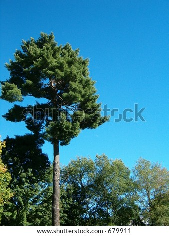tall straight pine tree crown