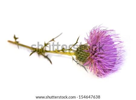 Tall Thistle (Cirsium altissimum) - stock photo
