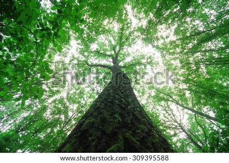 Tall tree in a forest - stock photo