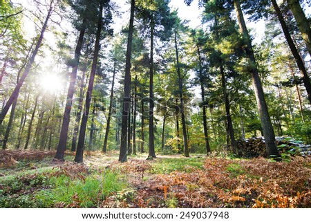 tall trees and sunlight in the old forest - stock photo