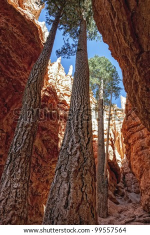 Tall trees on the Navajo Trail in Bryce Canyon, Utah - stock photo