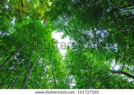 Tall trees with green foliage reach towards a blue sky. - stock photo