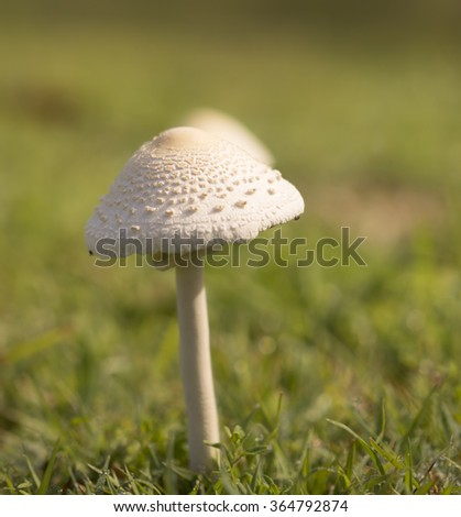 tall young mushroom after rain growing in green grass field - stock photo