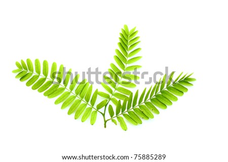 Tamarind leaf isolated on white - stock photo