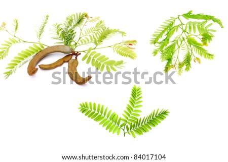 Tamarind leaf set isolated on white - stock photo