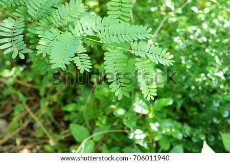 Tamarind leaves with branches in nature