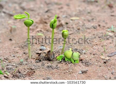 Tamarind seedlings growing in nature - stock photo