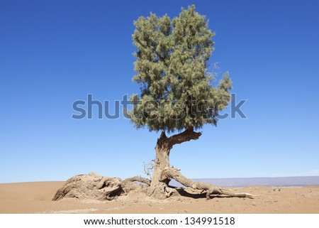 Tamarisk tree (Tamarix articulata) in the Sahara desert against clear blue sky. - stock photo