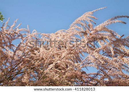 Tamarix branches on the sky