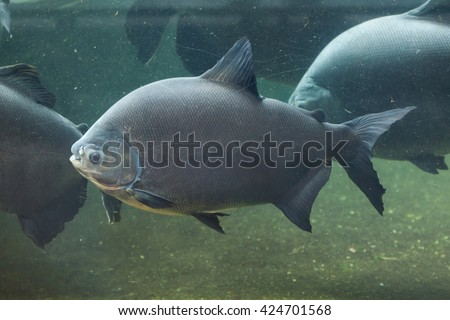 Tambaqui (Colossoma macropomum), also known as the giant pacu. Wild life animal.  - stock photo