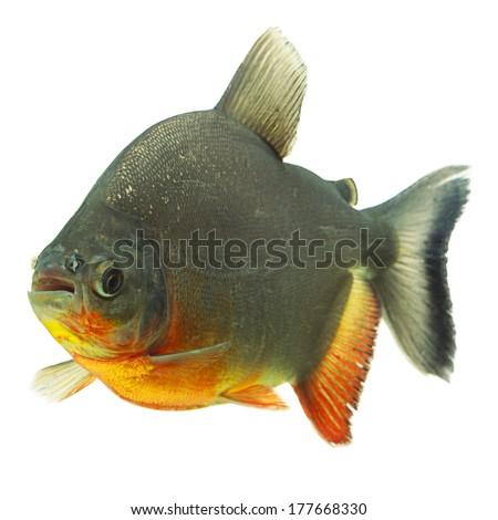 Tambaqui fish profile isolated on white, studio aquarium shot. - stock photo