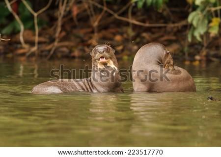 TAMBOPATA, MADRE DE DIOS, PERU: Giant otter swims in sandoval lake in the peruvian Amazon jungle. - stock photo