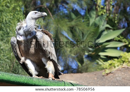 Tame Griffon Vulture standing on a board and looking into the distance