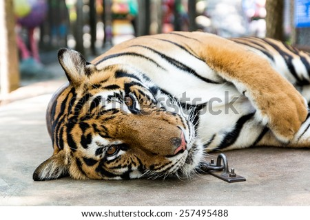 Tame tiger close up - stock photo