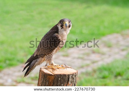 Tamed and trained for hunting fastest bird predator falcon or hawk perched on stump and staring into the camera lens - stock photo