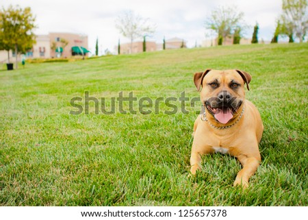 Tan American Staffordshire laying in grass - stock photo