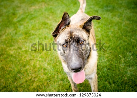 Tan and black Australian Shepherd mix with tongue hanging out - stock photo