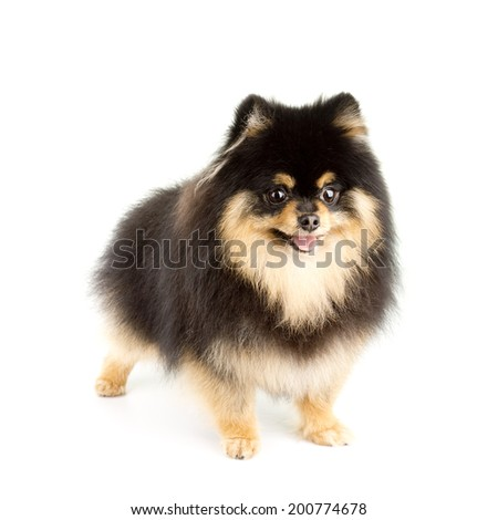 Tan and Black Pomeranian  - stock photo