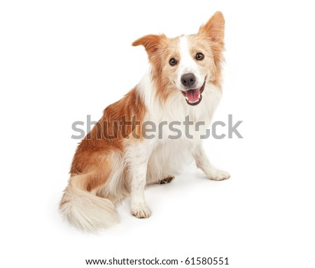 Tan and white Border Collie dog sitting down and looking happy. Isolated on white. - stock photo