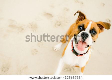 Tan and white Boxer smiling on beach - stock photo