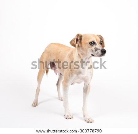 Tan Colored Terrier Mix Dog on White Background - stock photo