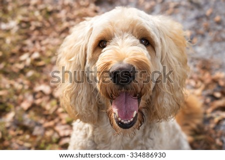Tan labradoodle dog pet sitting outside watching waiting alert looking happy excited while panting smiling and staring at camera - stock photo