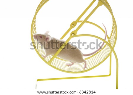Tan mouse with pink eyes running on yellow exercise wheel on white background - stock photo