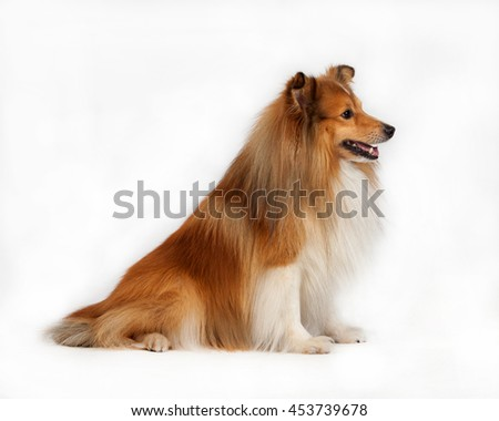 Tan / white Shetland Sheepdog sits on the floor on white background - stock photo