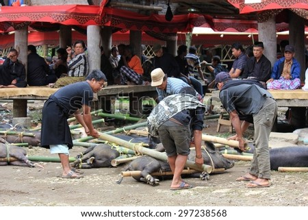 TANA TORAJA, INDONESIA - JULY 3 2012: Indonesian people picking up porks for their sacrifice during a funeral ceremony